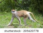 Female Patas Monkey Walking In...