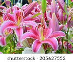 Group Of Pink Lilies In The...