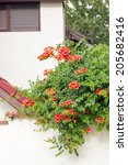 Campsis Radicans   Plant With...