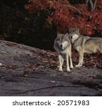 Timber wolves against red maple leaves - stock photo