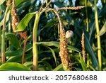 Corncob   Corn Plant On The...