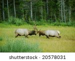 Elk Sparring In Meadow