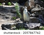 A Humboldt Penguin  Spheniscus...