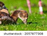 Small photo of Egyptian Goose Alopochen aegyptiacus - Nilgans - Family: Anatidae