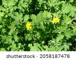 Buds And Yellow Flowers Of...