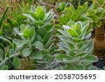 Leucospermum Conocarpodendron...