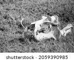 The Bleached Skull Of A...