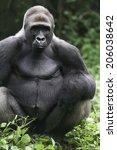 Small photo of Second alpha male gorilla