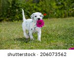 Stock photo dalmatian puppy in a meadow 206073562