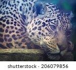Close Up Shot Of A Jaguars Face