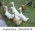 Small photo of The crested duck (Anas platyrhynchos) is a class of birds in the Anatidae family. It has a distinct appearance due to a genetic mutation that causes the deformity.