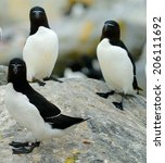 Small photo of Razorbills (Alca Torda) perched on the rocks in Maine