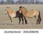 Two Przewalski's Horse Standin...