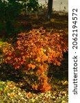 Small Autumn Viburnum Bush In...