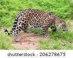 Jaguar   Panthera Onca   In...