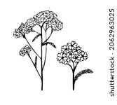 yarrow plant. the isolated...   Shutterstock .eps vector #2062963025