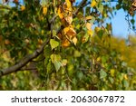 Branch Of Birch Tree And With...