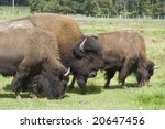 Buffalos On A Meadow  Canada