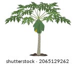 fruiting papaya tree on a white ...   Shutterstock .eps vector #2065129262