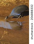 Small photo of Vulturine guineafowl, Acryllium vulturinum, drinking, reflection, endemic, Samburu Game Reserve, Kenya, East Africa