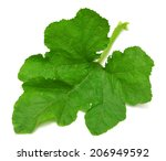 Large Leaf Pumpkin Isolated On...