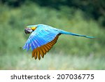 Blue And Yellow Macaw  Ara...