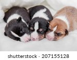 Newborn Basenji Puppies