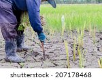 farmer is planting rice the... | Shutterstock . vector #207178468