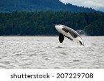 Killer Whale Breaching Near...