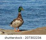 Mallard Duck Posing On The Sea...