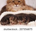 Cute Newborn Siberian Kittens...