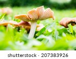 Mushrooms Orange Cap Boletus O...