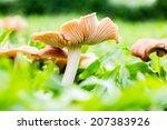 Mushrooms Orange Cap Boletus O...
