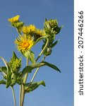 Small photo of Blooming nard against the blue sky in July