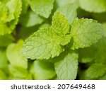 fresh mint herb growing on the... | Shutterstock . vector #207649468