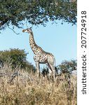 alone giraffe in savanna  ... | Shutterstock . vector #207724918