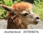 Alpaca Closeup Of Alpaca In Th...