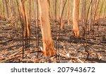 Burnt Eucalyptus Forest