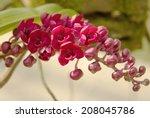 Rhynchostylis Gigantea Var Red...
