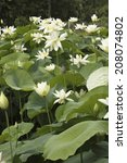an image of white lotus | Shutterstock . vector #208074802