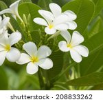 Plumeria Or Frangipani Flower...