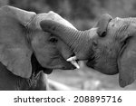 Two Elephant Bulls Interact An...