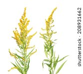 Small photo of Canada Goldenrod flowers isolated on white background