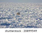 Polar bear hunting seals on the ice cap in Hudson Bay, Canada - stock photo