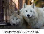 Two Arctic Wolfs  Canis Lupus...