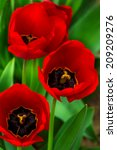 three red tulips on green blurred background of grass bokeh - stock photo
