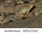 lizard basking in the sun in... | Shutterstock . vector #209217232