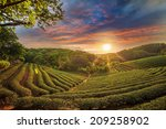 Tea Plantation Valley At...
