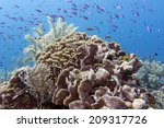 Small photo of Coral reef off the coast of Roatan hondurase Thin leaf lettuce coral (agaricia tenuifolia)