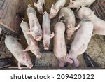 pigs in farm | Shutterstock . vector #209420122